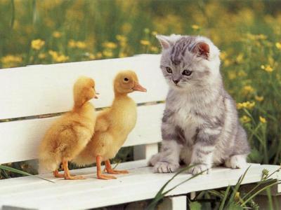 petit chat canard